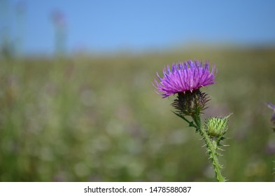 Beautiful flower of purple thistle. Pink flowers of burdock. Burdock thorny flower close-up. Flowering thistle or milk thistle. Herbaceous plants - Milk Thistles, Carduus. Shallow depth of field.