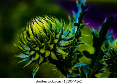"Beautiful flower of purple thistle. Pink flowers of burdock burdock. Burdock thorny flower close-up. Flowering thistle or milk thistle. Herbaceous plants ""Milk Thistles"", Carduus"