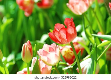 Beautiful flower of red tulip in sunlight on blur background