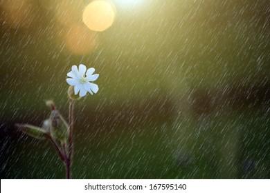 Beautiful flower in summer / spring rain