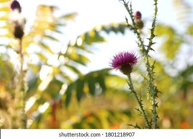 Beautiful flower, thistle. Pink burdock flowers. Close up of burdock flower. Flowering vinegar or thrush. Herbaceous plants - milk thistle, cardio. Shallow depth of field, blurred background. Summer.