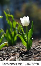 A beautiful flower tulip