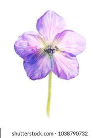 Beautiful flower. Watercolor painting isolated on white background