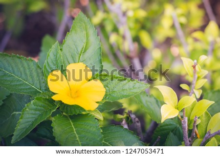 Beautiful Flower West Indian Holly Yellow Stock Photo Edit Now