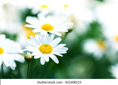 beautiful flower white daisy in garden