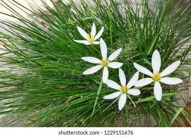 Beautiful flower white rain-lily view blooming with green leaves background, other name is white Zephyranthes candida (fairy lily, rainflower, zephyr lily, magic lily, rain lily, azucenita de campo.