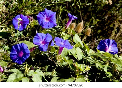 beautiful flower whose scientific name is Ipomoea purpurea