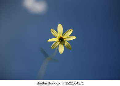 Beautiful flower with yellow petals on a thin stalk blurred focus. What do the flowers see when they grow. Blue sky and white clouds without focus. Natural background