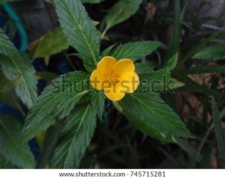 Beautiful Flower Yellow Sage Rose West Stock Photo Edit Now