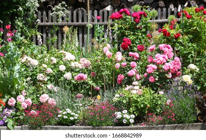 Beautiful flowerbed in a traditional cottage garden with roses, lavender foxgloves and other beautiful plants