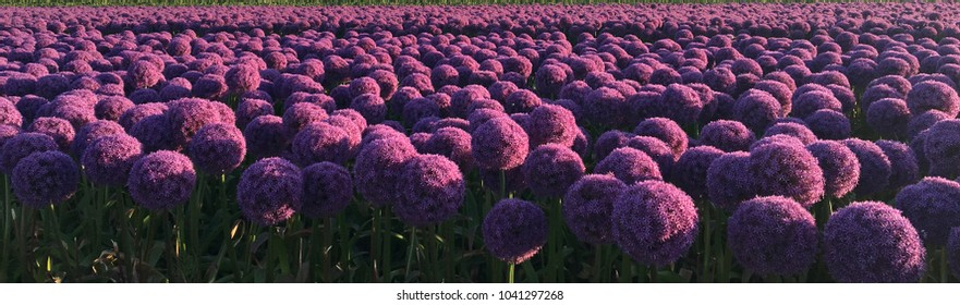 Beautiful flowerfield of onions in Egmond aan zee, Holland, Europe