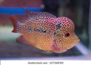 Beautiful Flowerhorn cichlid fish in freshwater tank aquarium