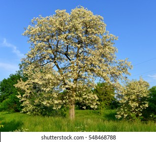 Beautiful flowering acacia trees in the spring against the blue sky. Nature