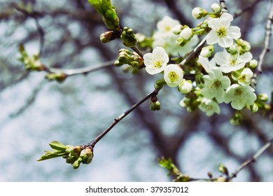 beautiful flowering apple trees.  background with blooming flowers in spring day. selective focus and bokeh.  toning vintage style