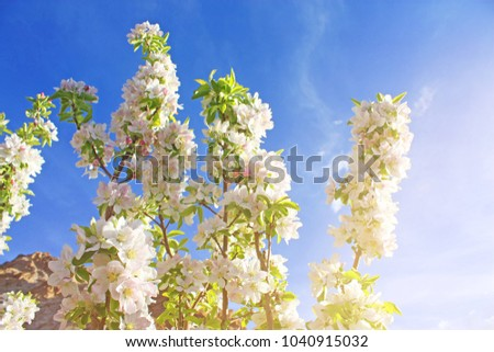Beautiful Flowering Apple Trees Background With Blooming White Flowers Blue Clouds Sky In