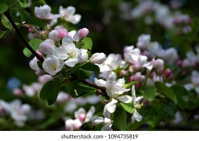 Beautiful flowering branches of apple tree, Malus domestica in spring