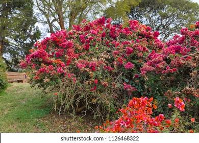 Beautiful flowering bush. Aberdare, Kenya