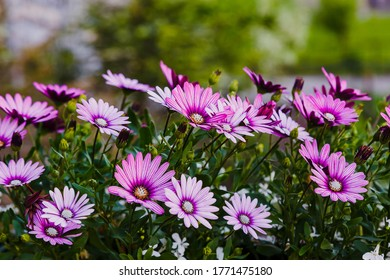 Beautiful flowering bush of Osteospermum (daisybushes or African daisies, South African daisy and Cape daisy). Purple daisy for gardening and landscaping.