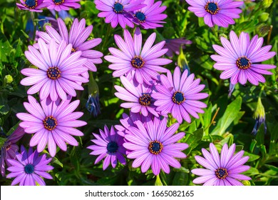 Beautiful flowering bush of Osteospermum. The magenta-lilac color petal flowers in shallow depth of field. They are known as the daisybushes or African daisies, South African daisy and Cape daisy.