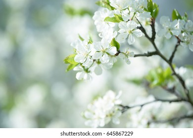 Beautiful flowering cherry trees. Background with blooming flowers in spring day.
