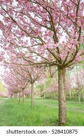 Beautiful flowering cherry trees on path