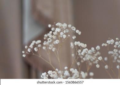 Beautiful flowering close-up of Alpine Gypsophila flower or Creeping Baby's Breath Gypsophila repens.