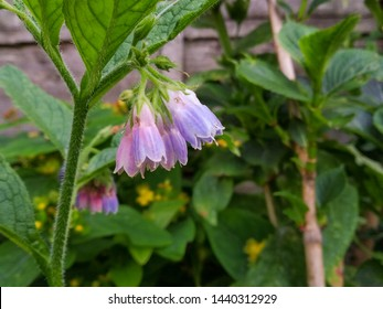 Beautiful flowering comfrey or symphytum with light lilac flowers
