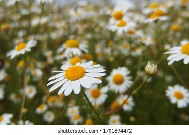 Beautiful flowering daisies on the meadow. Wild Leucanthemum flowers in summer sunshine.