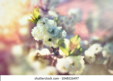 Beautiful flowering fruit tree in spring, branch of blossomed tree lit by sunlight