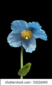 Beautiful flowering himalayan blue poppy on black background in vertical format