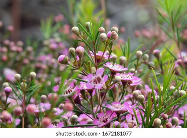Beautiful flowering of Hooked heraldry  (lat. Chamelaucium uncinatum)