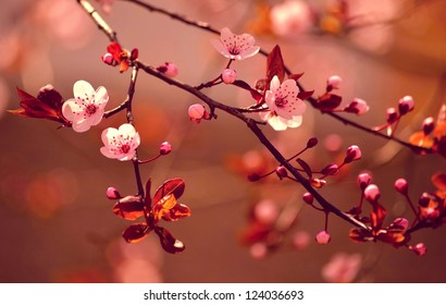 Beautiful flowering Japanese cherry - Sakura. Background with flowers on a spring day. Red-soft version.