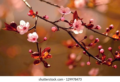 Beautiful flowering Japanese cherry - Sakura. Background with flowers on a spring day. Version soft 2013.
