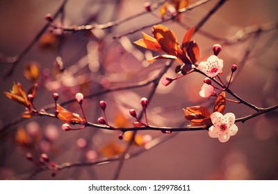 Beautiful flowering Japanese cherry - Sakura. Background with flowers on a spring day. Version 3