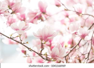 Beautiful flowering magnolia tree