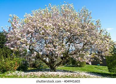 Beautiful Flowering Magnolia Tree