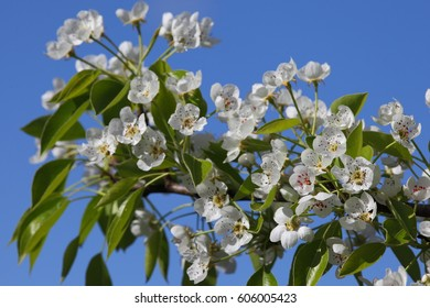 Beautiful flowering pear in spring garden on background of blue sky.