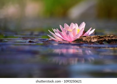 Beautiful flowering pink water lily - lotus in a garden in a pond. Reflections on water surface.