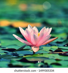Beautiful flowering pink water lily - lotus in a garden on a small lake. Reflections on water surface.