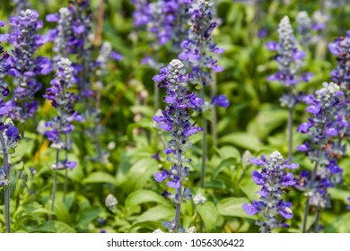 Beautiful flowering purple meadow with Blue Salvia in the garden. Blue salvia purple flowers. ( Selective Focus )