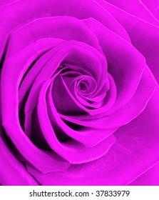 beautiful flowering rose