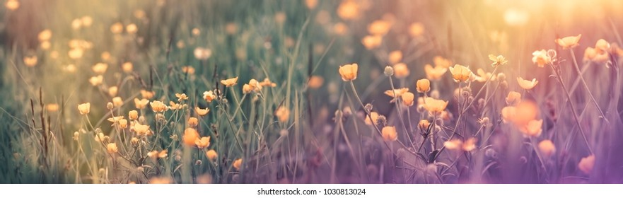 Beautiful flowering spring flower - buttercup flower, meadow landscape in spring