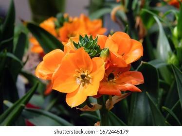 Beautiful flowering of Star-of-Bethlehem or Ornithogalum (lat. - Ornithogalum dubium)