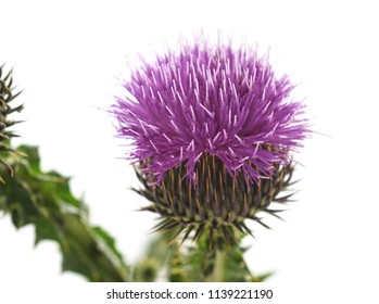 Beautiful flowering thistle isolated on a white background.