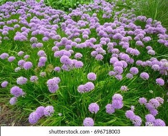 Beautiful flowers, Allium Millenium