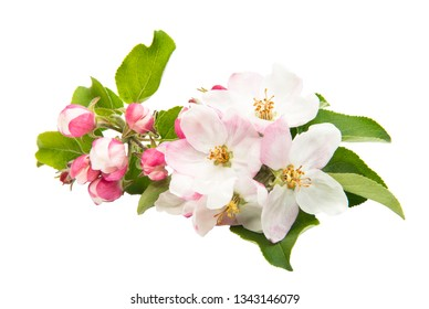 beautiful flowers of apple tree isolated on white background