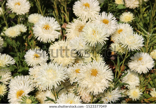 Beautiful Flowers Asters Flowers Garden Beautiful Stock Photo Edit Now 1523377049