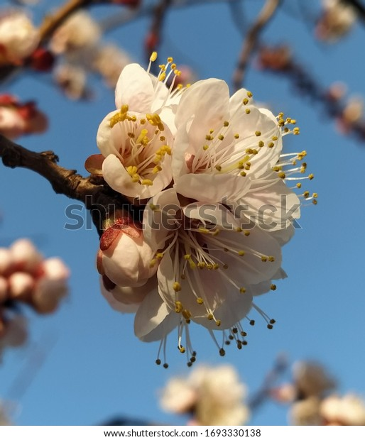 beautiful-flowers-blooming-apricot-close