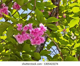 Beautiful flowers of blooming Prunus serrulata or Japanese cherry