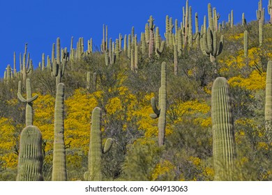 Beautiful flowers blooming in the southern Arizona desert